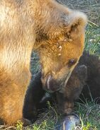 128 Grazer with spring cub July 16, 2016-July 21, 2016 photo by Truman Everts .03