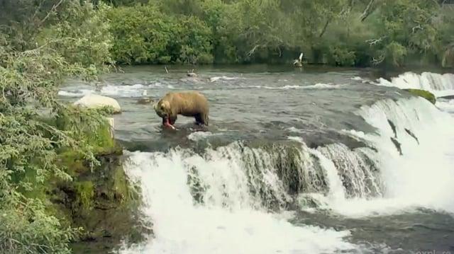 Bear 505 of Brooks Falls, July 2017 video by GreenRiver