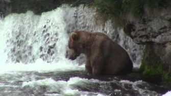 Bear chasing bear with salmon - Brooks Falls, Katmai National Park July 2014 by laddnshirl