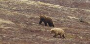 INFO BEARS SEEN 2015.05.20 COURTING BEARS ON DM POPEYE 634 DARKER BEAR IN CENTER ZOOM
