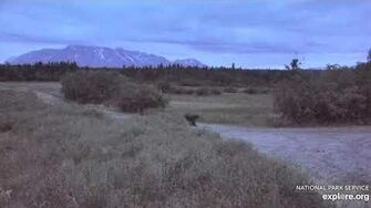 Unknown sow with 3 Coy 6 24 2020, video by Lani H-0