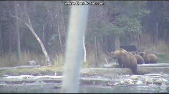 Bear 39 (not 171) with 3 cubs brooks falls katmai Part 2 2016 10 21 21 40 49 734, video by Erum Chad