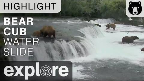 Bear Cub Water Slides over Brooks Falls - Live Cam Highlight July 2016