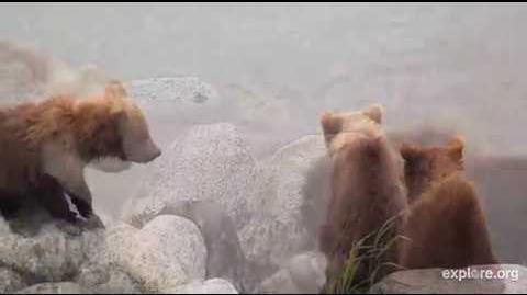Bear 482 & Cubs 2018 by Deanna Dittloff