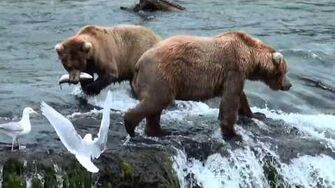 Bears at Brooks Falls - Katmai National Park, July 2015, video by enapic