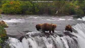 Bear 128 Grazer scared the little lip fisher subadult bear who later fell over falls, video by Erum Chad