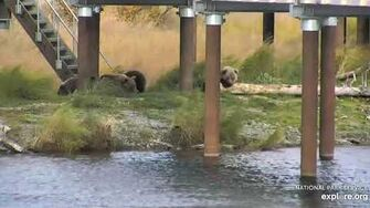273 and coy resting and playing near the bridge 10 6 2019, video by Lani H