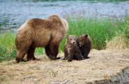 Unidenified sow with 2 spring cubs July 9, 2019 photo by NWBearLove92 .02