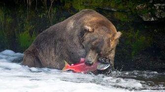 Brown Bears Catching Salmon, 2016 video by PrasitPhoto