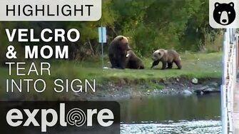 Velcro and Momma Bear 273 Tear Into A Sign - Katmai National Park - Live Cam Highlight
