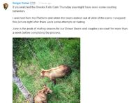 INFO BEARS SEEN 2016.06.23 289 & 89 COURTING & ATTEMPTED MATING RANGER DANIEL w COMMENT