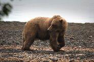 INFO BEARS SEEN 2015.06.12 16.01 BL FB MORE ACTIONS THAN NORMAL DOWN THE BEACH SO FAR PIC