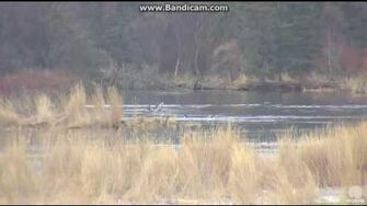 39 (not 171) and 3 cubs quick visit LR BROOKS FALLS KATMAI 2016 10 17 21 27 00 573, video by Erum Chad
