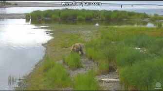 Bear 435 Holly with 2 coys LR cam Brooks Falls Katmai, video by Erum Chad