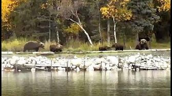 When bear cubs meet! Lower river cam