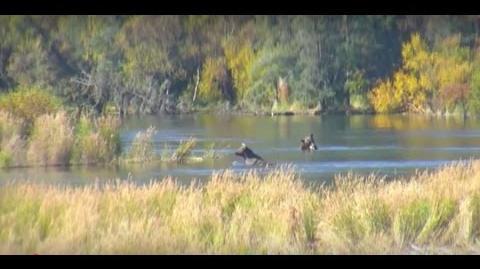 879 Subadult? RW Cam, September 1, 2016 video by Melissa Freels