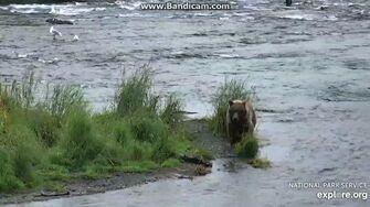 901 Bear 284's Female Subadult 2018-08-11 13-47-13-604, video by Birgitt