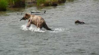 Brown bear mom with a new-born cub caught a fish, video by Hwaing Hsu