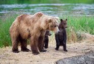 Unidentified sow with 2 spring cubs July 9, 2019 photo by NWBearLove92 .01