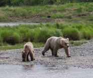 HOLLY 435 INFO 2016.05.21 20.58 RDAVE COMMENT w RANELA PIC 435 HOLLY w HER BIOLOGICAL 2.5 YEAR OLD CUB RANELA PIC ONLY ZOOM