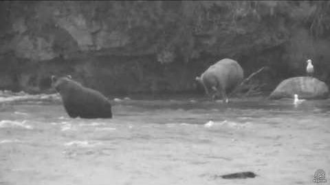 Bear With One Ear (Could this be 51 Diver Jr?) the darker bear is 700 Marge July 17, 2017 23 05 video by Flyer 7474 (SteveCA)