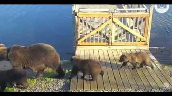 Third video of unidentified sow with 3 cubs 9 23 15 Katmai National Park by Mickey Williams (504 with 3 spring cubs btb 821 831)