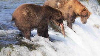 Katmai brown bears (Brooks Falls, Alaska), video by anniebu