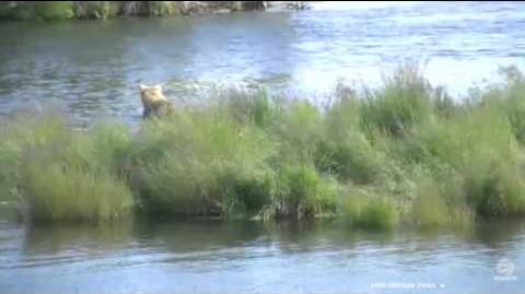 482 Brett with 3 spring cubs, cub vocalizations audible