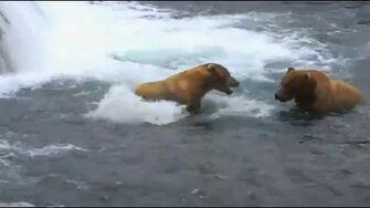 Brooks Bear 480 gets his macho on ~ 7.18