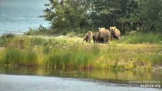 273 and her 3 yearlings interact with Unknown sow and 2 cubs 7 17 2020, video by Lani H