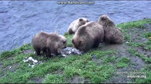 402s Cubs Play with Dead Gull 2018-10-09 by Birgitt Evans