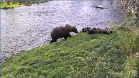 153 and 3 spring cubs Brooks falls Katmai 2016-10-03 video by Erie