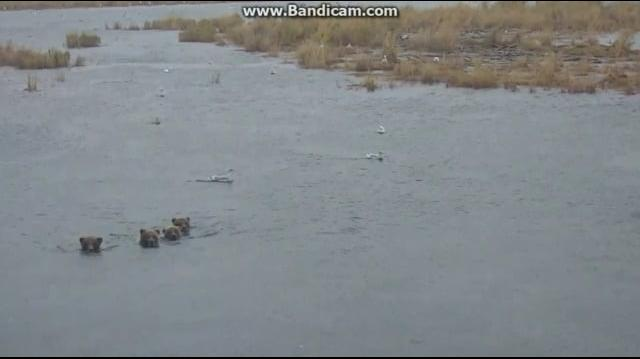 402's 4 Spring Cubs Cross the Brooks River Together 2018-09-27 by Birgitt