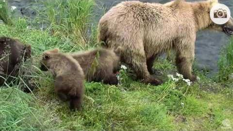 5;26pm July 8, 2016 128 Grazer and spring cubs at the falls Katmai National Park and Explore video by Mickey Williams