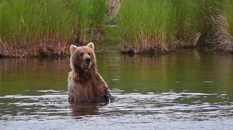 Alaska Bears 2017 (482 Brett from 2 03 - 2 06) video by Jon Rayeski