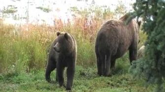Brooks Camp Bears, video by wholeworldgonecrazy