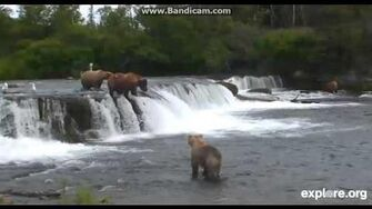 """Brooks Falls cam 775 Lefty and 409 Beadnose """"having words"""", video by Markindify"""