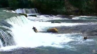 153 (Bear 39) and Yearlings at Brooks Falls 2017 08 04, video by flyer 7474