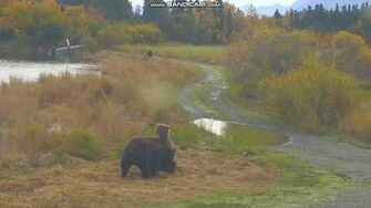 Bear subadults siblings 831 821 Salt n Pepper play fight RW Brooks Falls Katmai 2018 09 26, video by Erum Chad