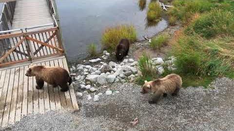 Bear traffic in Katmai, Alaska