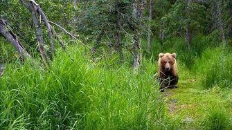 Bear 504 emancipated male cub Pepper 821 2018 07 08 Brooks Falls Katmai by Erum Chad (aka Erie)
