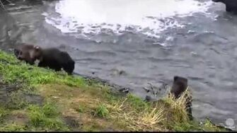 Unidentified Mom with 3 cubs At Brooks Falls 10 17 15 Katmai National Park by Mickey Williams (504 w 3 COY btb 821 831)-0