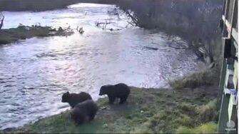 10 08 am AKDT Mom&3 cubs Katmai National Park10-19-15 by Mickey Williams (btb 504 w 3 COY 821 831)
