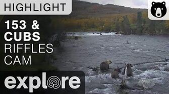 39 and yearlings - Katmai National Park - Live Cam Highlight Explore published September 26, 2017