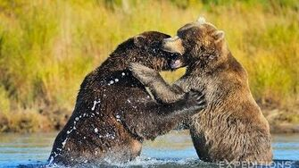 Alaska Grizzly Bears Fighting Alaska Brown bears wrestling by Expeditions Alaska (Fall 2013?)
