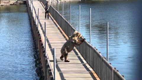 Bear (273) opens gate and walks on Brooks Lodge Bridge 2014 video by Magical Adventures