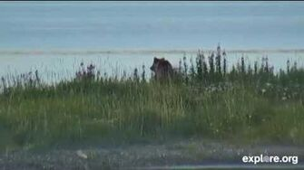 Bear 284 F 2014 07 26, video by Janie Nook