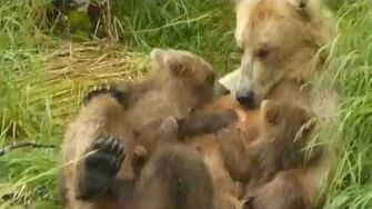 Bear cubs don't want to stop nursing, video by Mike Fitz