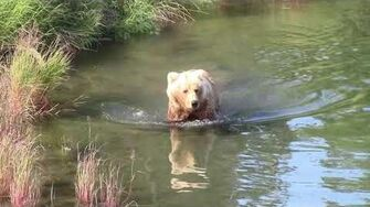 Bears of Brooks Falls - meet Brett 482 and Family, video by Helga Clephas