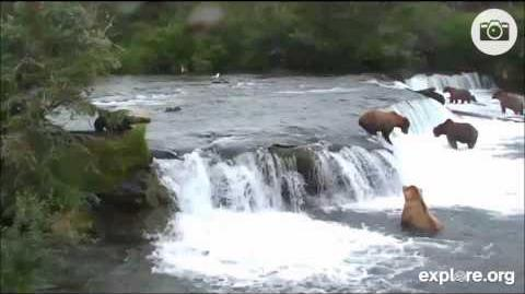 402r has a real scare when 2 of her cubs fall in the water at the fall July 16, 2013 video by MsDebbiB